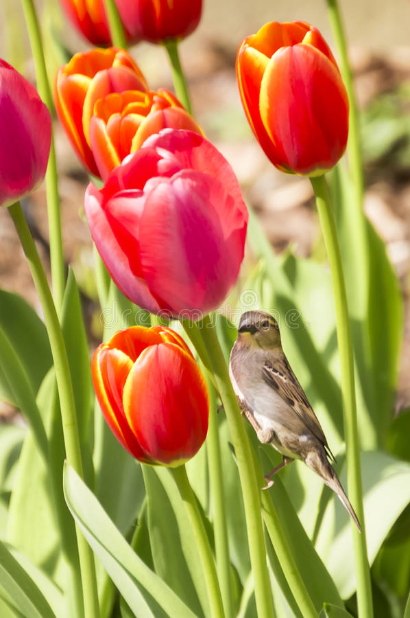 Sparrow Resting on Tulips. Female House Sparrow Resting on Tulips stock photos