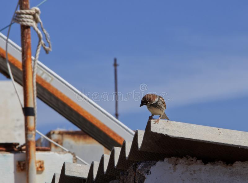 Sparrow on a roof royalty free stock images