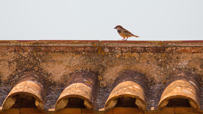 Sparrow on the roof royalty free stock images