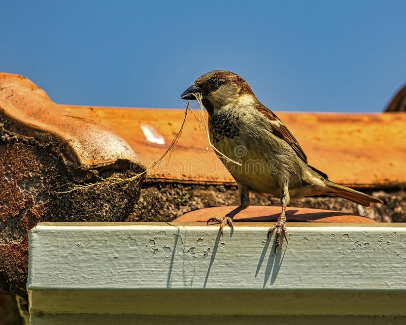 Sparrow on the roof with twig in the beak. Photo of Sparrow on the roof with twig in the beak stock images