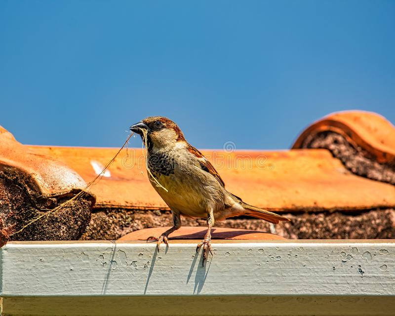 Sparrow on the roof with twig in the beak. Photo of Sparrow on the roof with twig in the beak stock photo