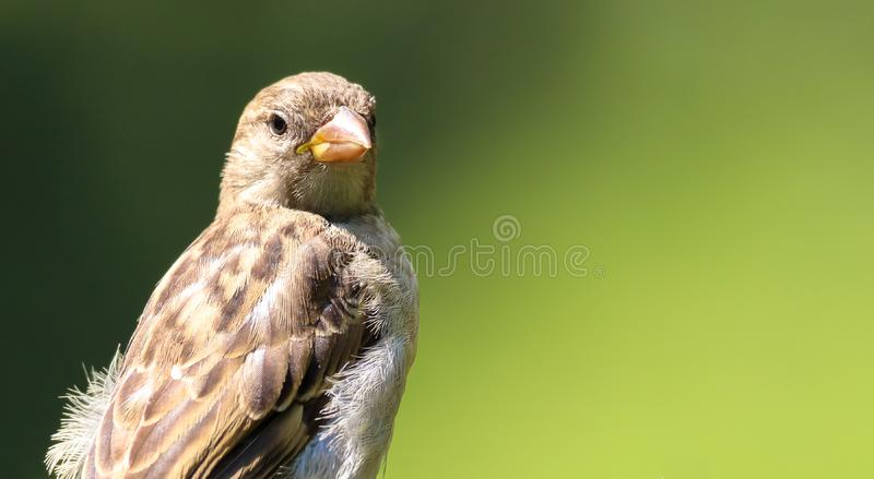 Sparrow Sparrow samica songbird Passeridae, Passer domesticus perching obserwuje odizolowane na zielono fotografia royalty free