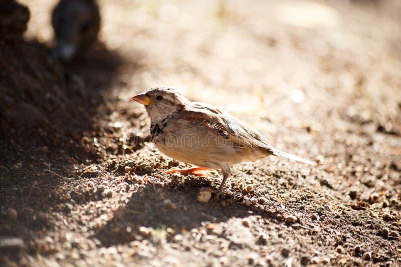 Sparrow sand bathing royalty free stock photos