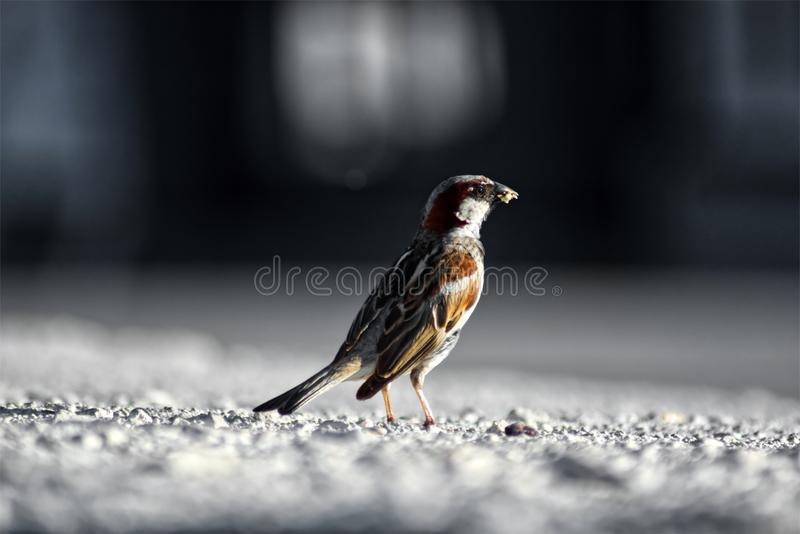 Sparrow on the sidewalk stock image