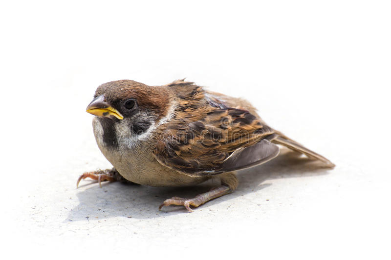 Sparrow Sit Stand On  Floor Stock Photo