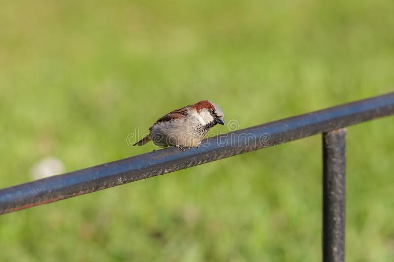 Sparrow sits on an iron pipe stock image