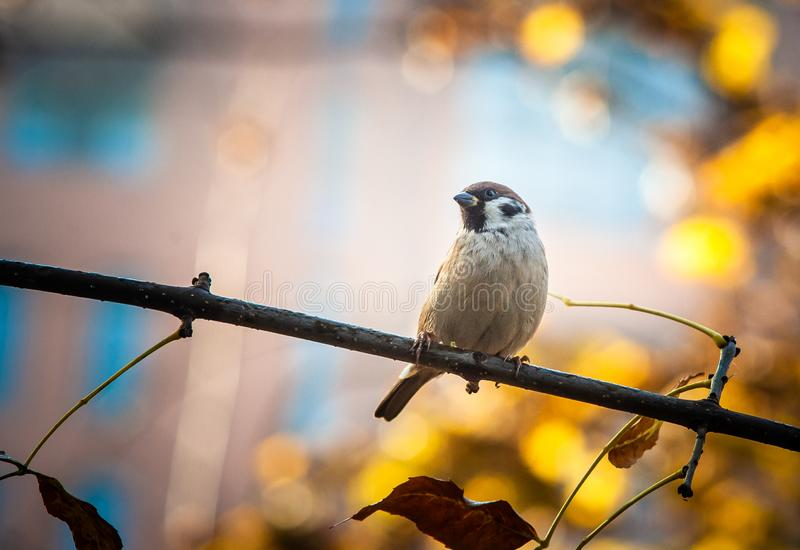 Sparrow sits on a tree branch stock photo
