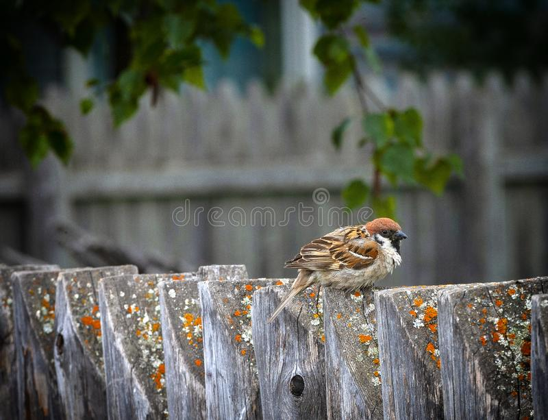 The Sparrow sitting on a fence in the garden stock photo