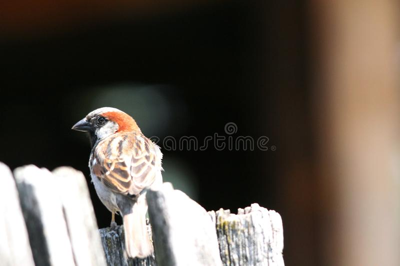 Sparrow sitting on the fence in the yard royalty free stock image