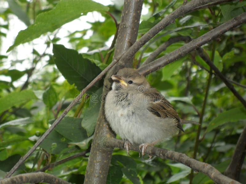 Sparrow sitting royalty free stock photography