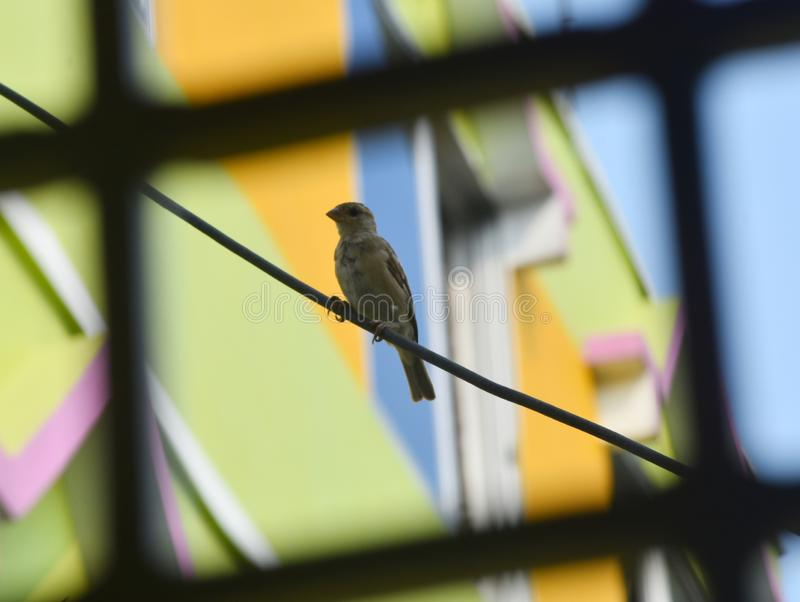 A Sparrow is sitting on a wire royalty free stock photo
