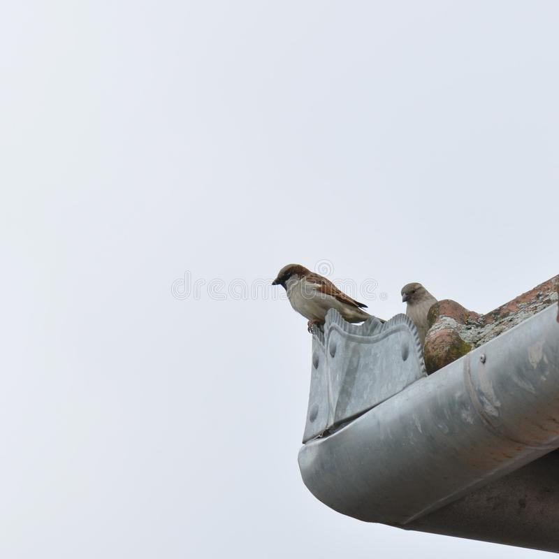 Sparrow. Resting and blue sky on the background royalty free stock images