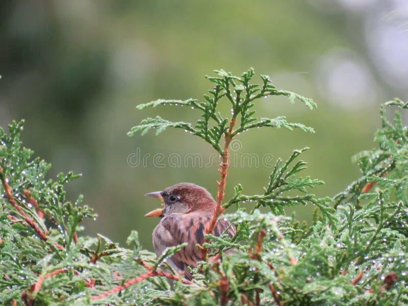 Sparrow arkivbilder