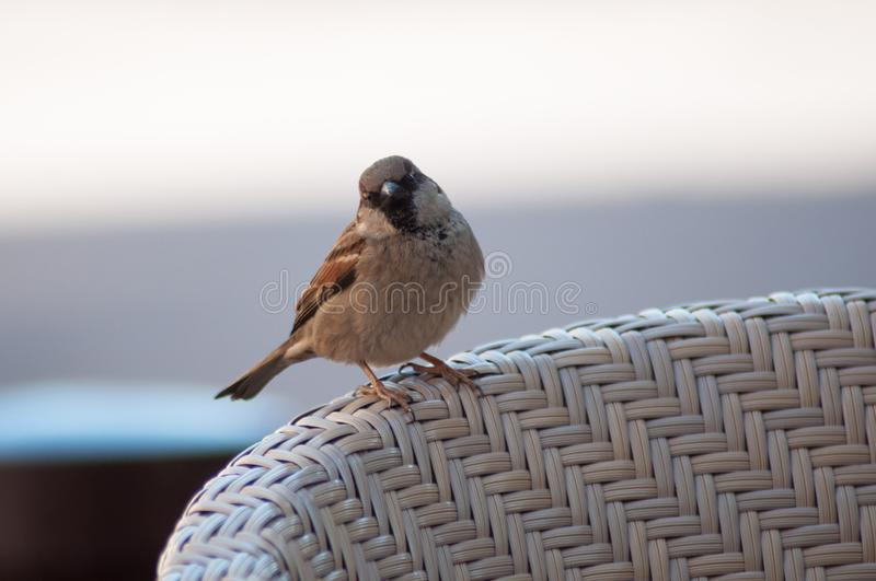 Sparrow standing on wooden chair in restaurant terrace. Closeup of sparrow standing on wooden chair in restaurant terrace royalty free stock image