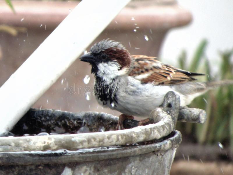 Sparrow taking bath in winter royalty free stock photo