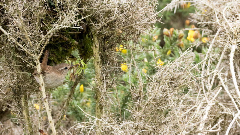 Sparrow in thorn bushes. Sparrow using thorn bush as his home for better protection royalty free stock images