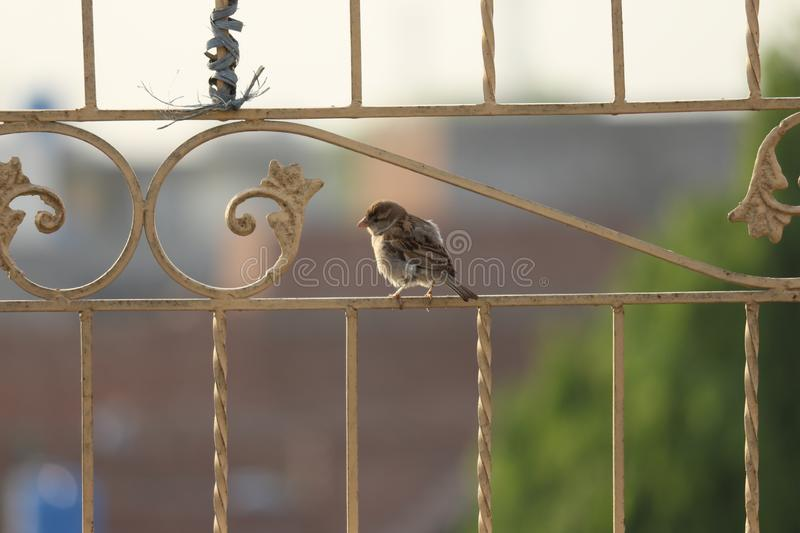 Sparrow on the top of building royalty free stock image