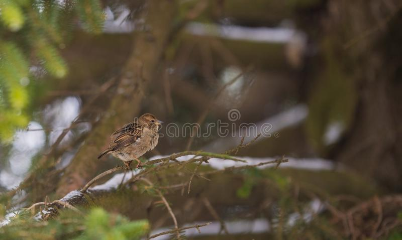 Sparrow on a tree branch royalty free stock images