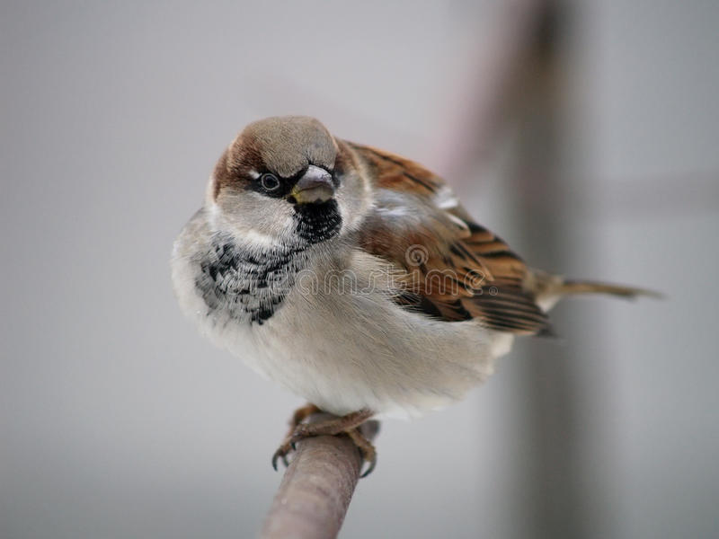 Sparrow on a tree branch. stock images