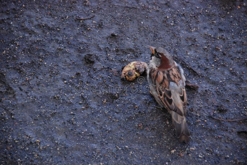 The sparrow on the wet ground eats rotten fruit in the autumn surrounded by seeds. The male sparrow on the wet ground eats rotten fruit in the autumn surrounded stock photos