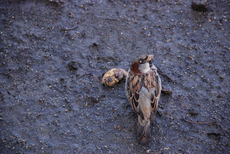 The sparrow on the wet ground eats rotten fruit in the autumn surrounded by seeds. The male sparrow on the wet ground eats rotten fruit in the autumn surrounded royalty free stock photography