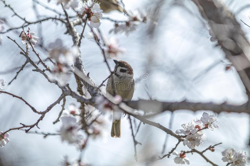 Sparrow on a white apricot tree blossom branch in the city park on spring sunny day. Beautiful nature background. Toned photo, royalty free stock image