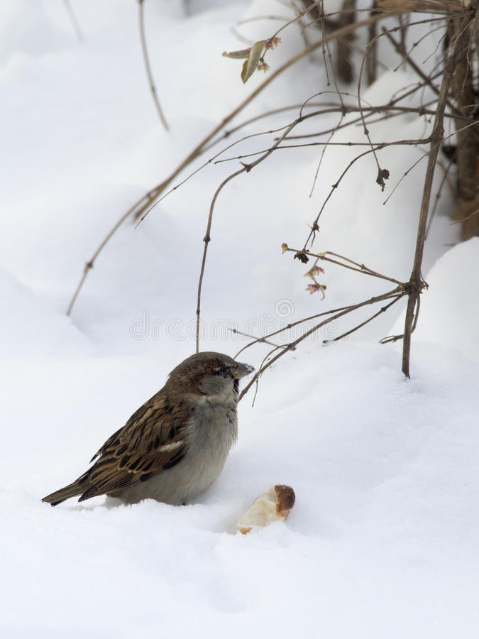 Sparrow in winter royalty free stock photo