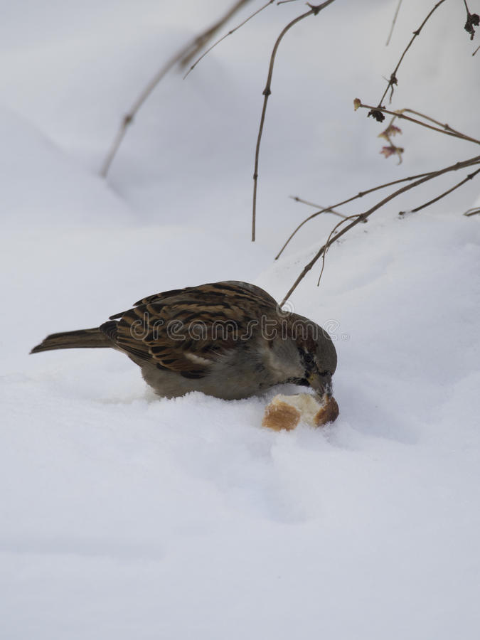 Sparrow in winter stock images