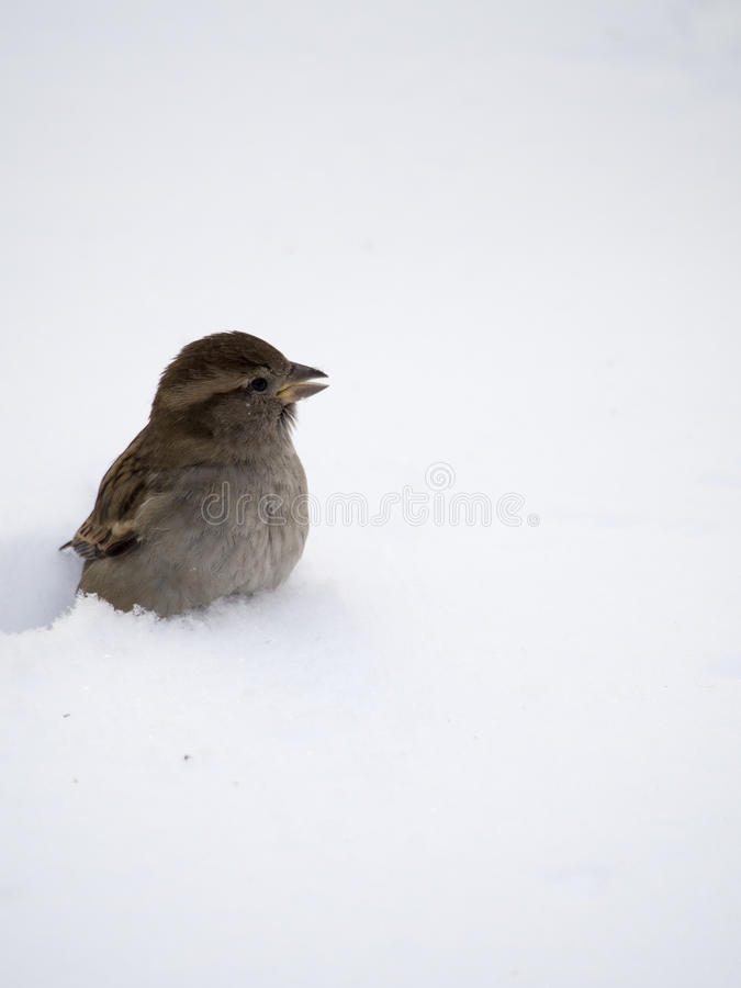 Sparrow in winter royalty free stock images