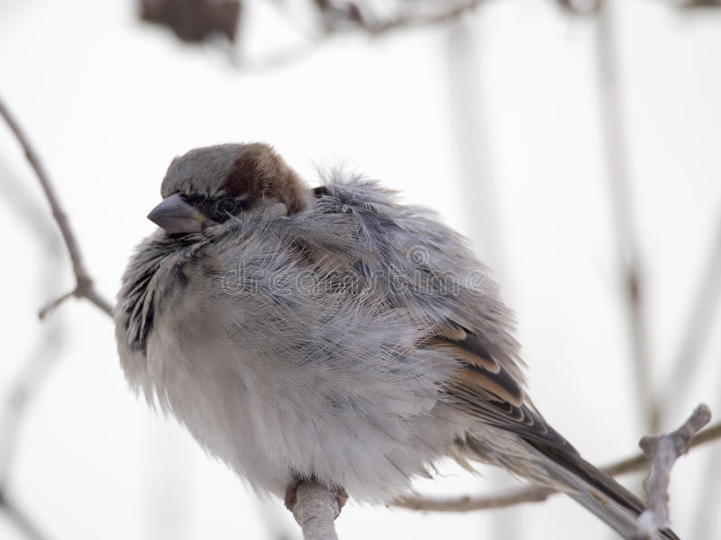 Sparrow in winter stock image