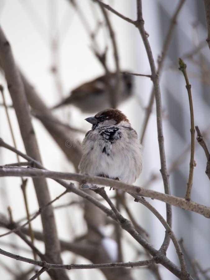 Sparrow in winter stock photo