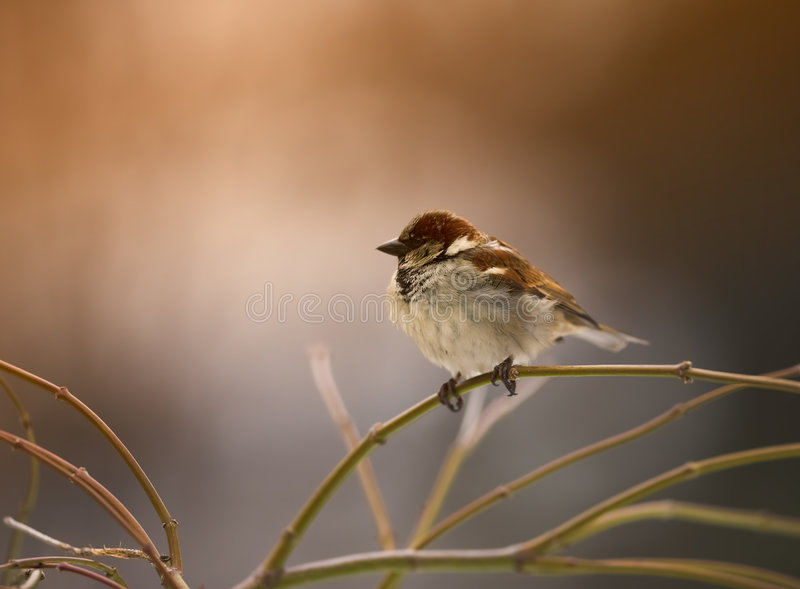 Sparrow winter morning royalty free stock photo