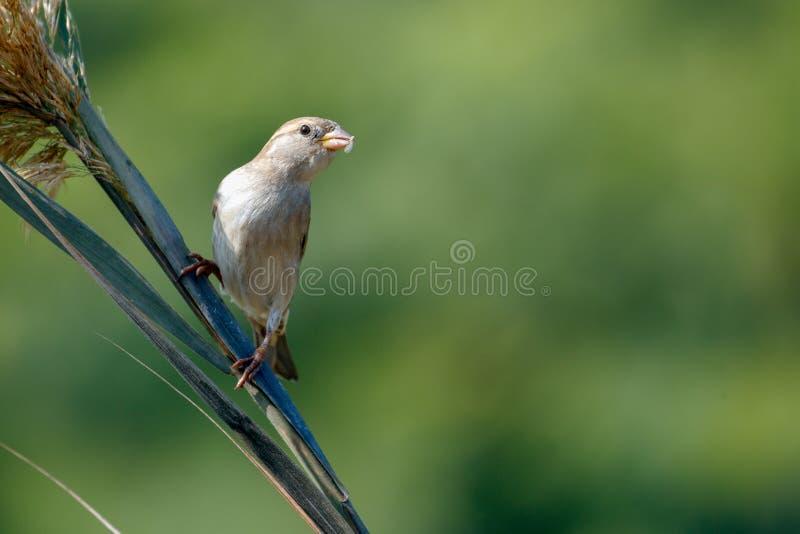 sparrow wspólnego obraz stock