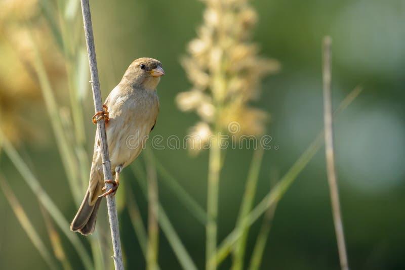 sparrow wspólnego fotografia stock