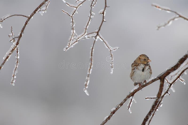sparrow zimno obrazy stock