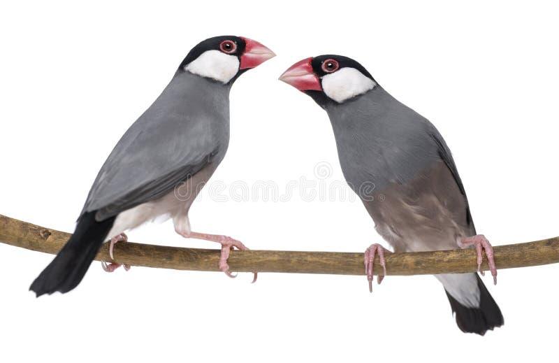 Sparrowen för två Java perched på en filialPaddaoryzivora royaltyfria bilder