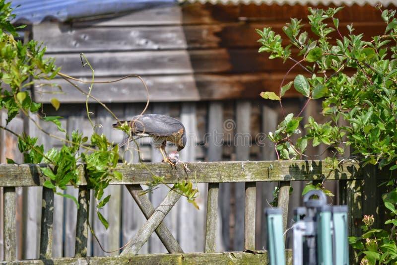 Sparrowhawk吃在篱芭的一只鸟 免版税库存图片