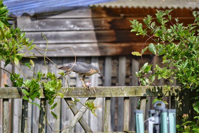 Sparrowhawk吃在篱芭的一只鸟 库存图片