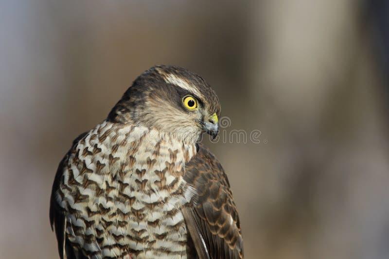 Sparrowhawk, Accipiter nisus stock photos