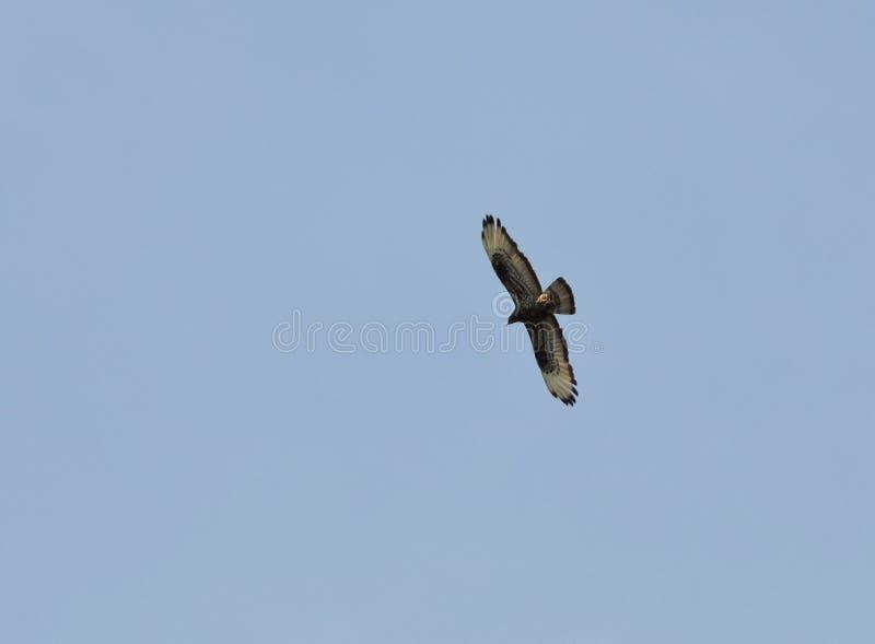 Sparrowhawk bird stock photo