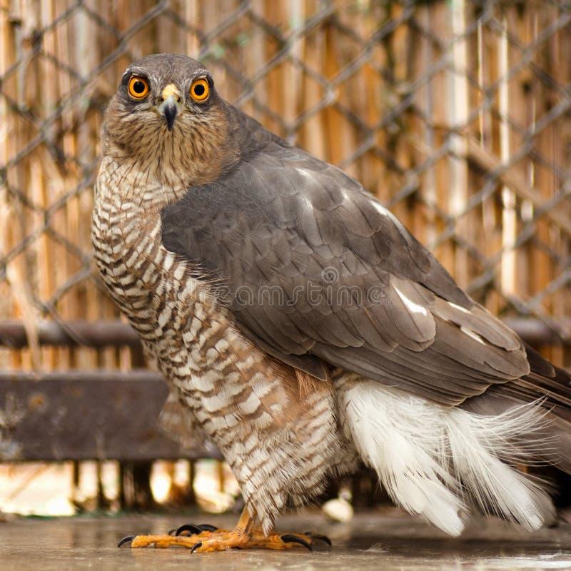 Sparrowhawk bird of prey stock image