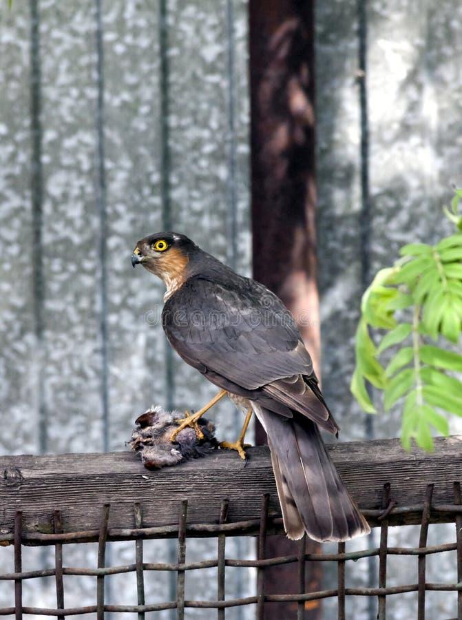 Sparrowhawk e la sua preda fotografia stock
