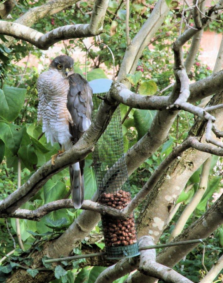 Sparrowhawk em alimentadores do pássaro fotos de stock royalty free