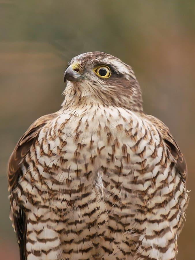 Sparrowhawk en el jardín foto de archivo