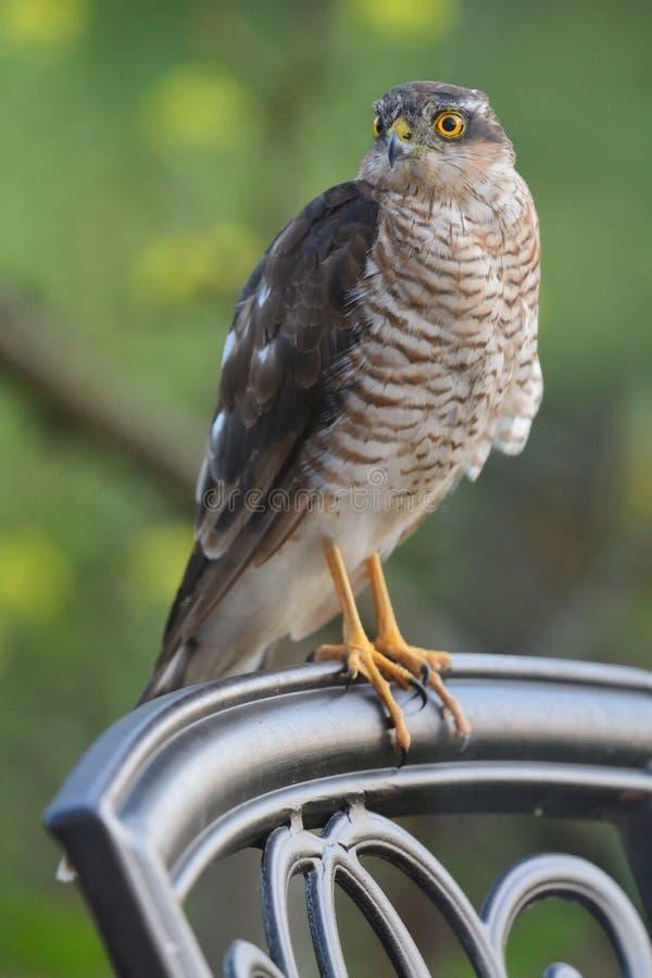 Sparrowhawk en una silla imagen de archivo libre de regalías