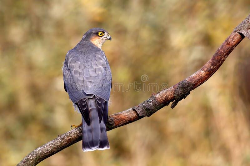 Sparrowhawk eurasien image libre de droits