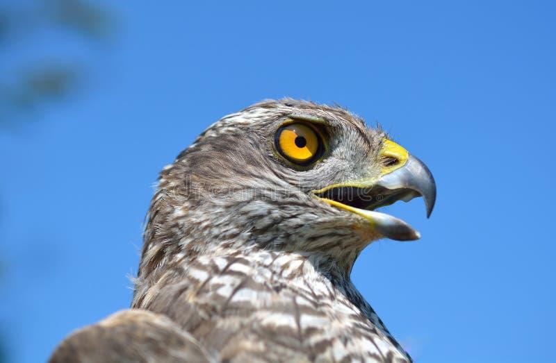 Sparrowhawk eurasien en nature image libre de droits