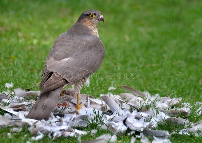 Sparrowhawk femelle avec la mise mort le sparrowhawk for Petit oiseau avec houpette