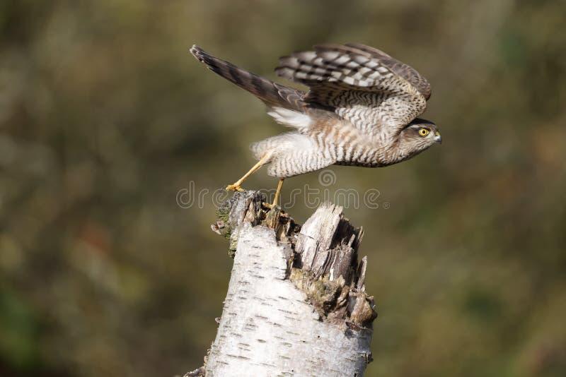 Sparrowhawk ; Nisus d'Accipiter photos libres de droits