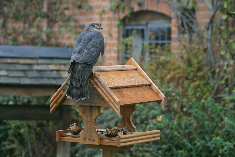 Sparrowhawk, nisus del Accipiter immagine stock